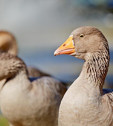 Geese, Caulfield Park, Caulfield